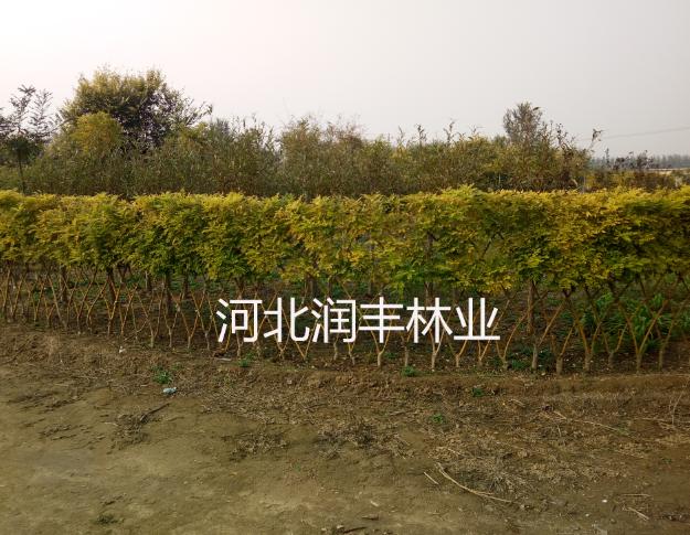 丛生金枝国槐