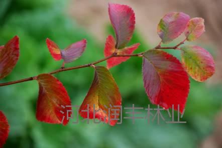 秋红榆丛生苗