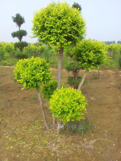 金叶榆组合造型