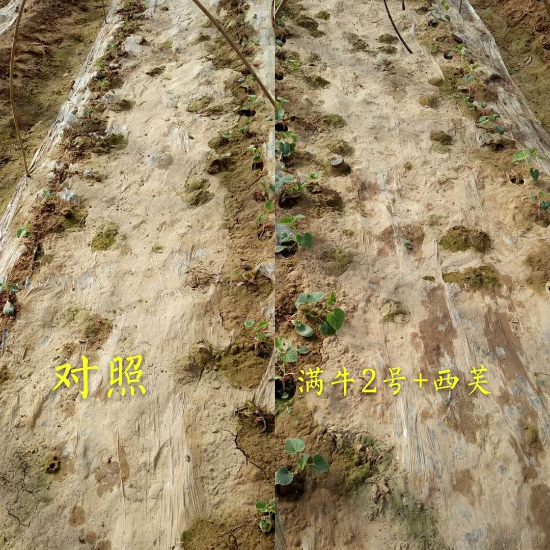 蔬菜定植緩苗時,就沖滿牛二號+西芙
